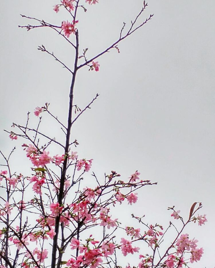 【開花啦!去單車館公園睇櫻花】