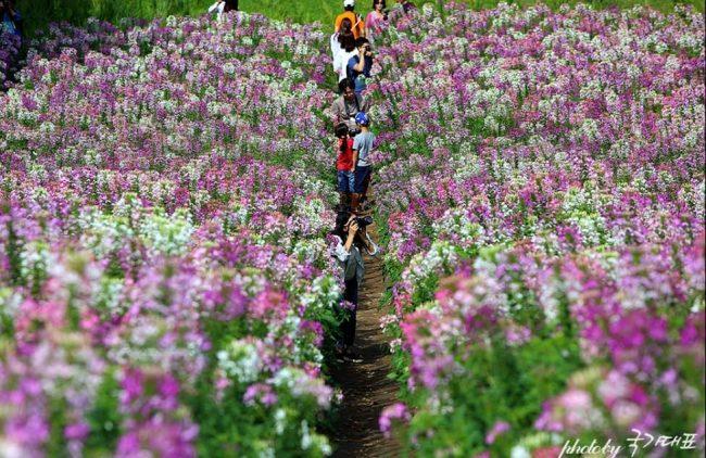韓國 ,首爾 ,奧林匹克公園 ,賞花 ,花海, 景點
