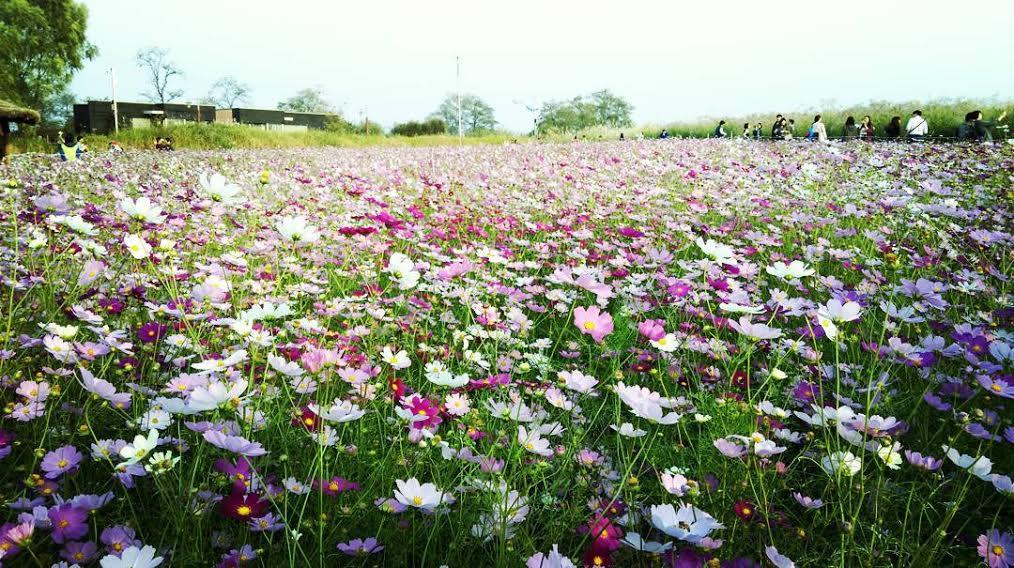 韓國, 10月, 秋天, 景點, 紫芒祭典會, 花海, 하늘공원월드컵공원 억새축제