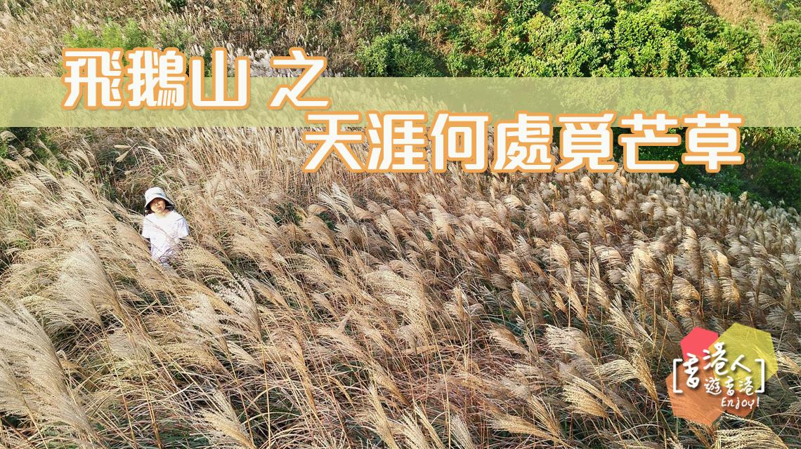 天涯何處覓芒草 飛鵝山 香港人遊香港