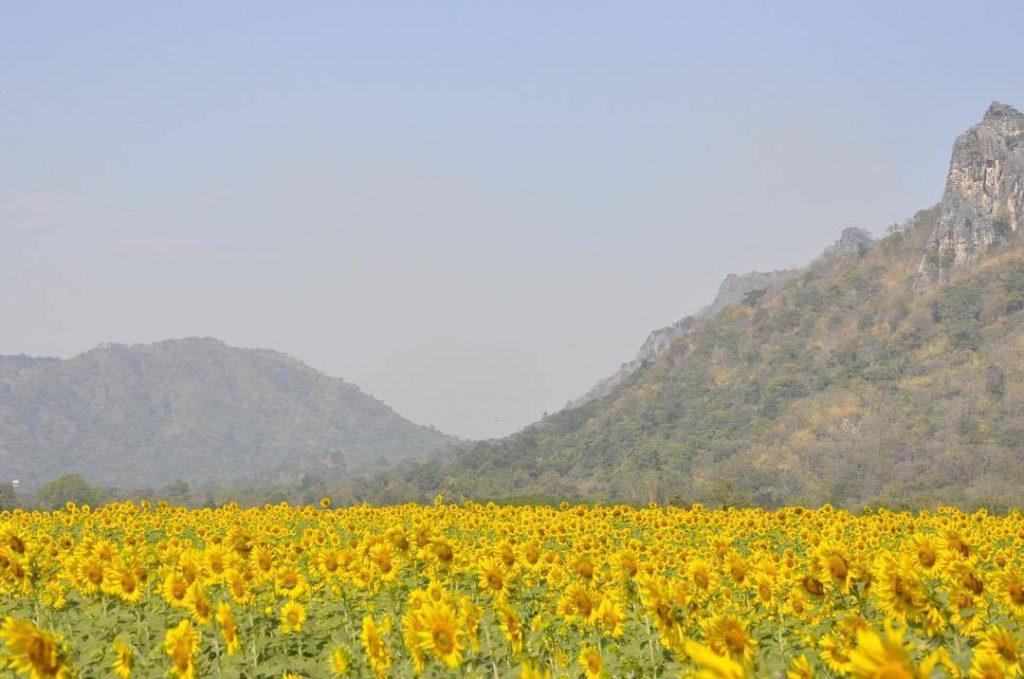 泰國, Lopburi向日葵花海