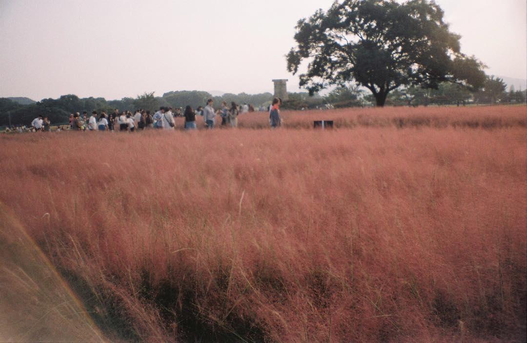 粉紅色芒草海