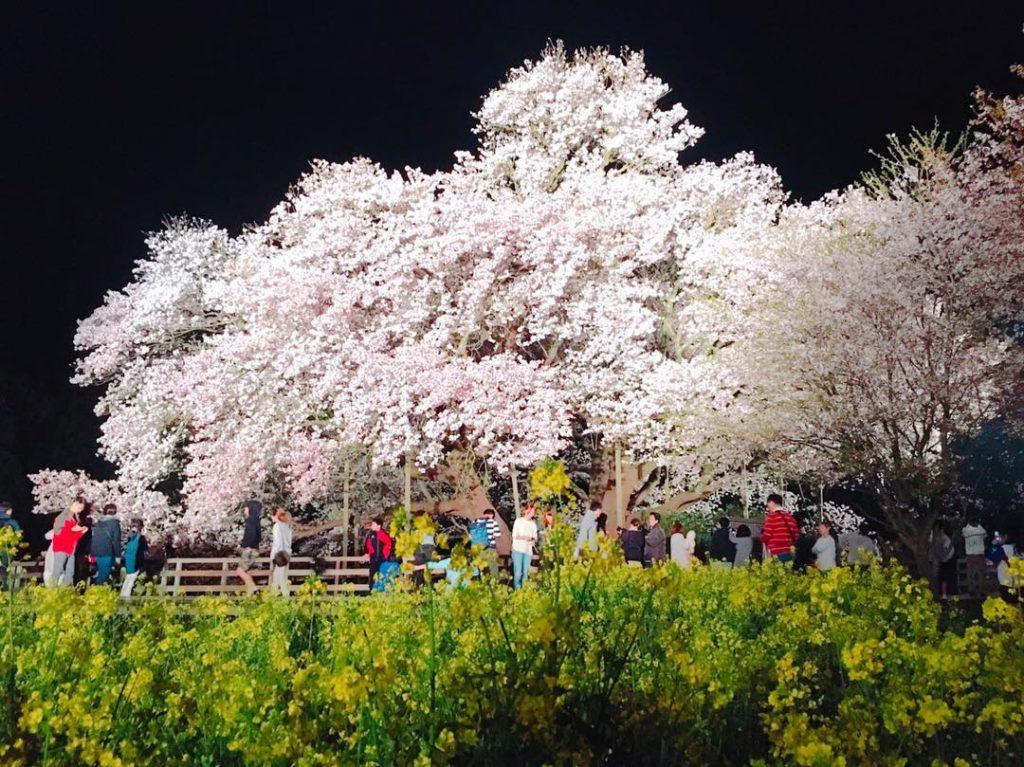 熊本一心行の大桜油菜花日本櫻花
