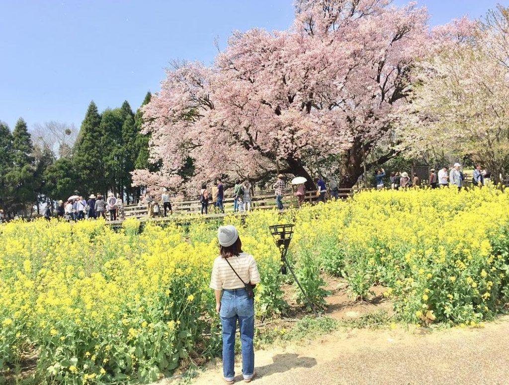 熊本一心行の大桜油菜花櫻花