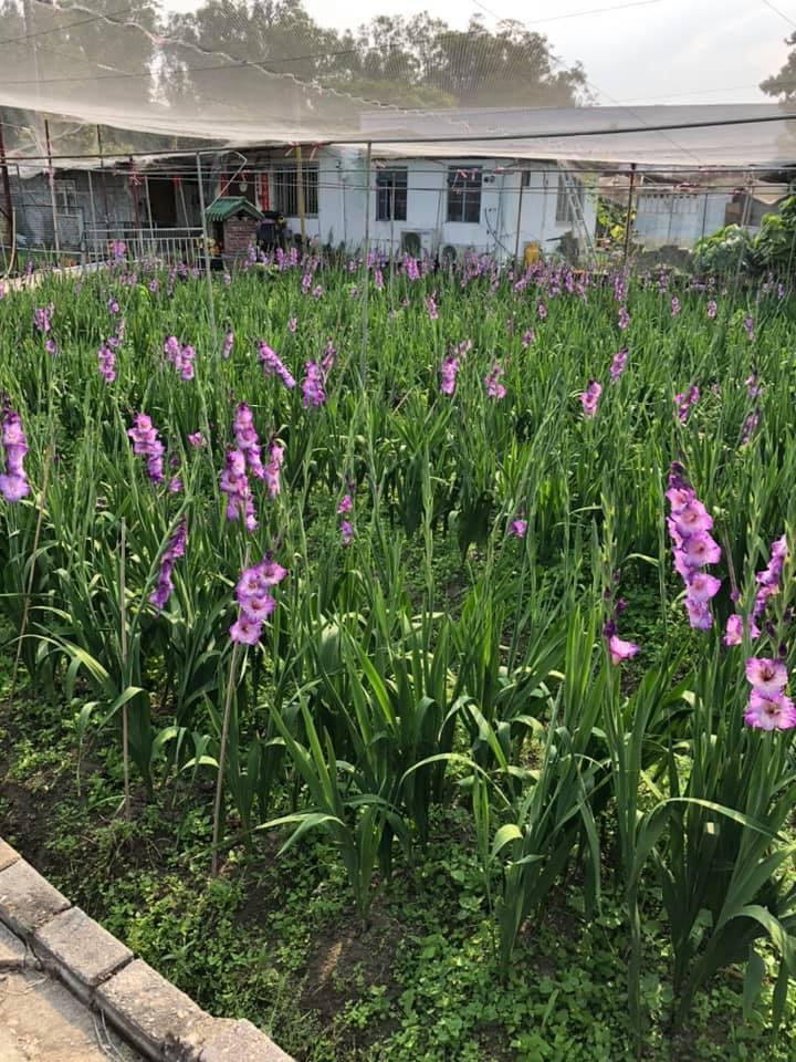 元朗信芯園黃金/紫色劍蘭花海